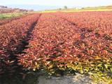 供应红叶石兰苗 鸿瑞园林 贵州苗木基地