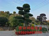 鸿瑞苗木 13809402058 (105)